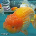 Ranchu super jumbo.jpg