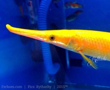 Jenis Ikan Hias Air Tawar Laman 3 Ferboes Com