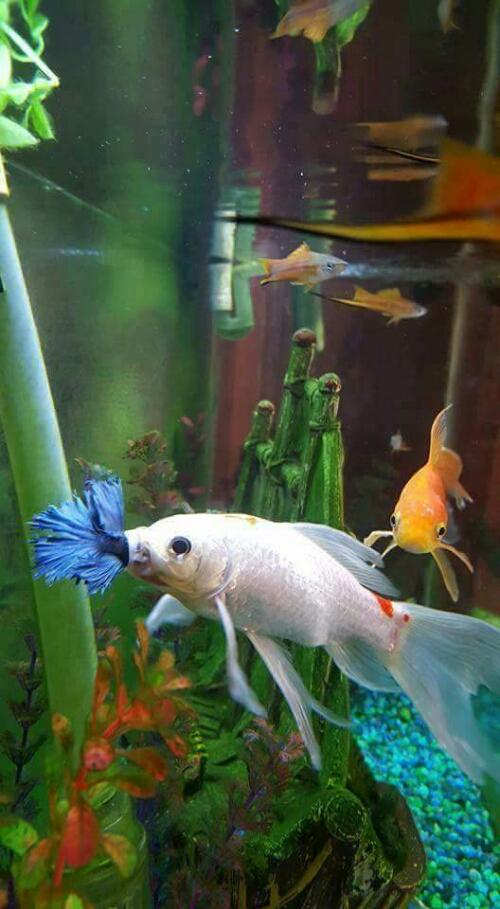 Ikan Cupang Ditelan Ikan Komet Bisa Saja  Ferboescom
