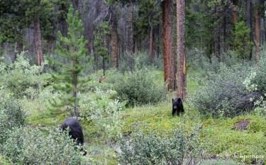 bears jasper national park 2