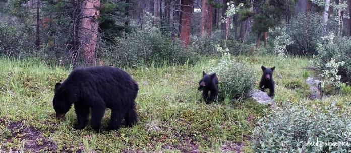 bears jasper national park
