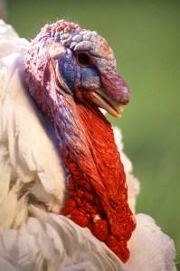 large_white_turkey_male