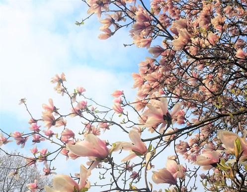 Einen Blick auf den traumhaft blühenden Magnolienbaum