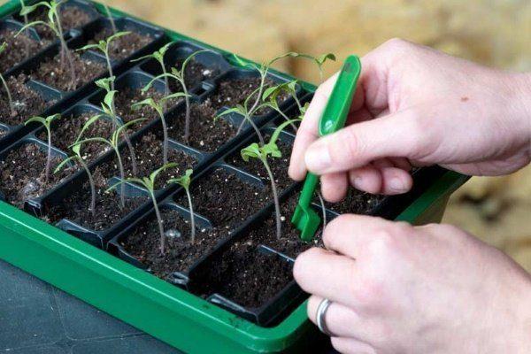 Prication of Seedlings