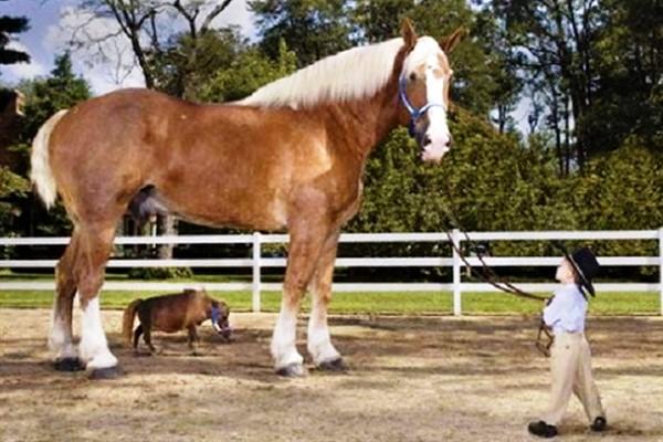 größtes pferd der welt