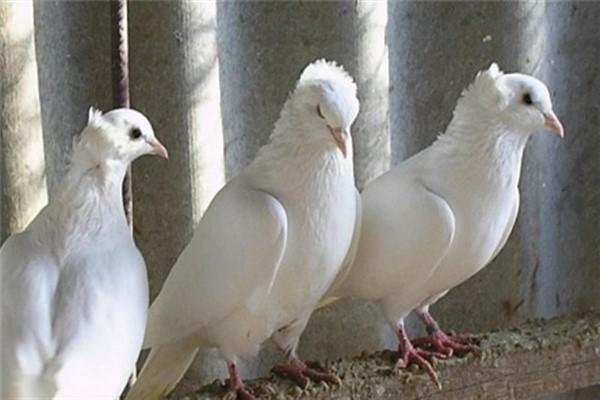 Sfaturi pentru cresterea porumbeilor - Editura