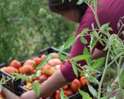 récolte des tomates ferme de Berdin Banos