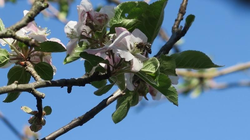 Abeille fleurs pommiers - Ferme de Cabessières