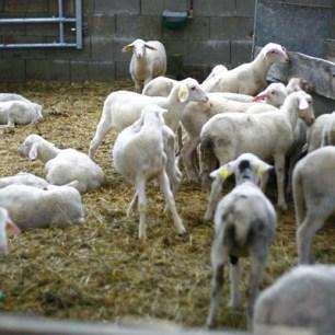 moutons dans la bergerie