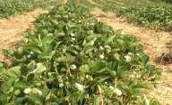 fraises_fleurs_2_vert