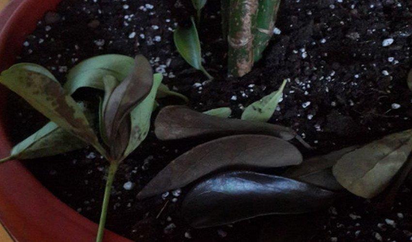 Опадают листья у шеффлеры