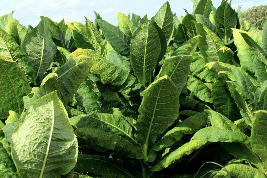 तंबाकू मैरीलैंड