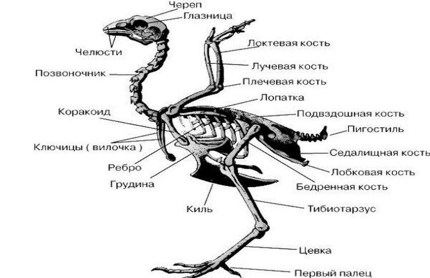 Крыло курицы строение