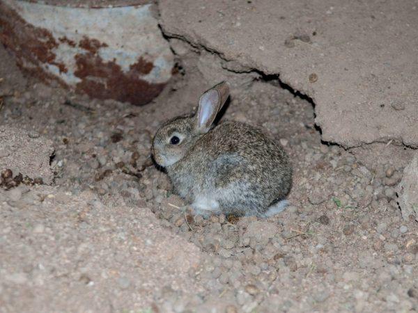 Kandungan arnab dalam lubang