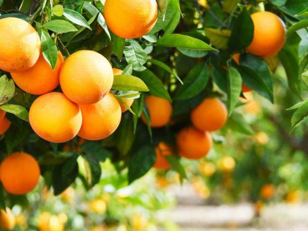 Какой плод имеет апельсин. Как выглядит апельсин: фото и описание. Когда апельсины пришли на Запад