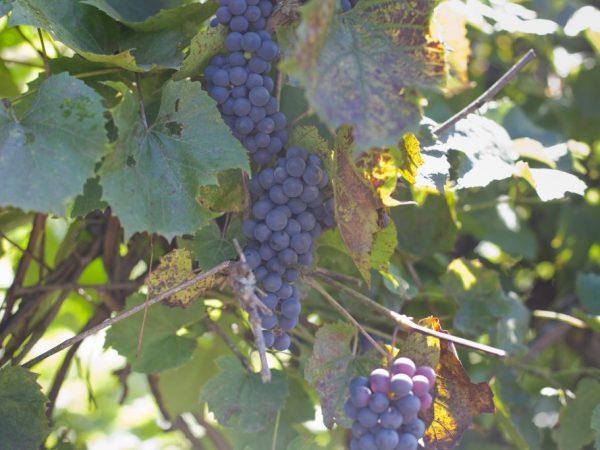 У винограда осыпается завязь причины меры по предотвращению