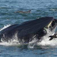 Captan en video momento en que una ballena se traga a un buzo y lo escupe