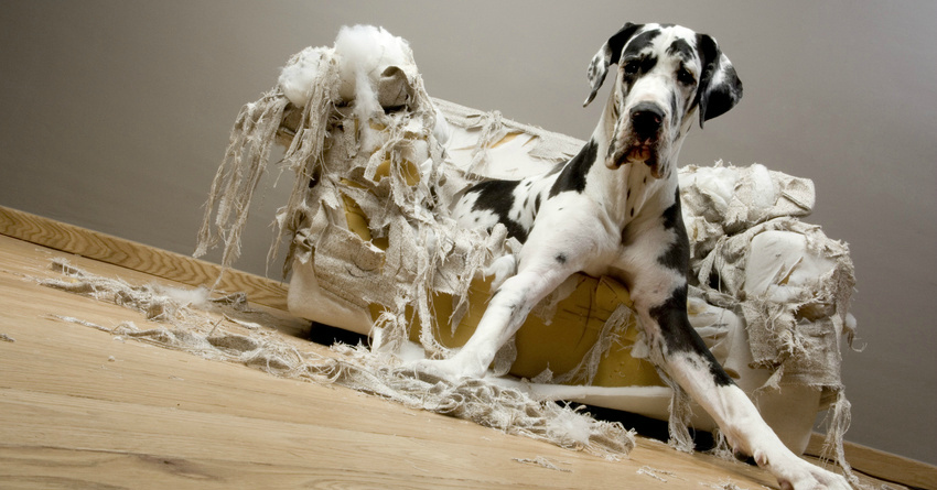 Dog Chewing On The Sofa