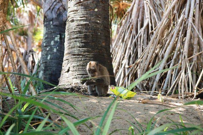 Affen im Nationalpark auf Koh Lanta, Thailand