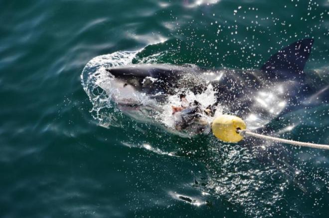 Haitauchen Mossel Bay, Highlight meiner Südafrika Rundreise