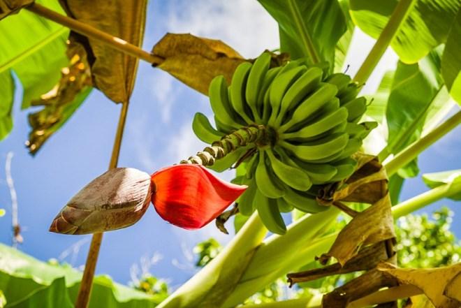 Auf einer Kuba Rundreise entdeckt man viele tropische Früchte zum Essen