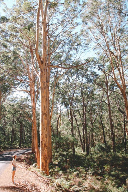 Westaustraliens Süden Karri Wälder bei Margarete River