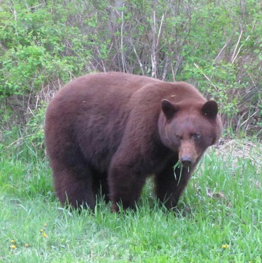 Fernie Bear