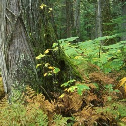 Old Growth Forests Need Your Help