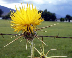 starthistle_flower