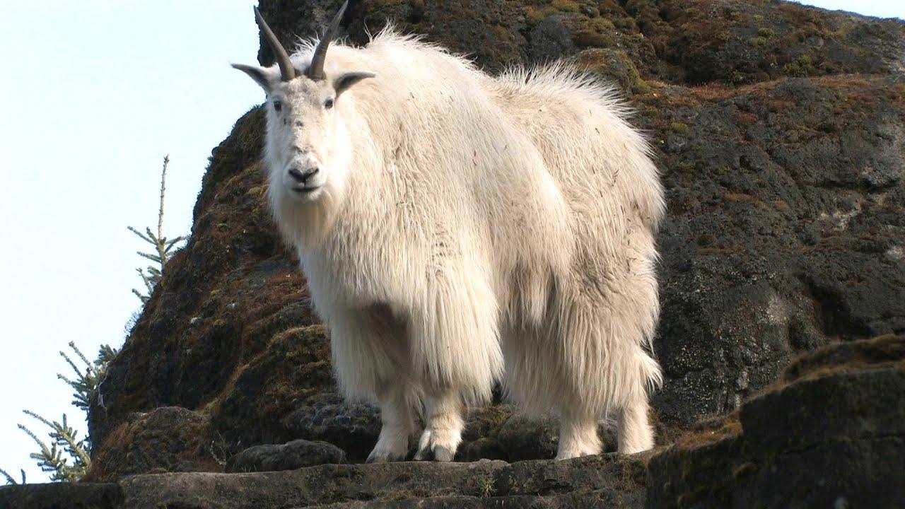 Safeguarding a Future for Mountain Goats
