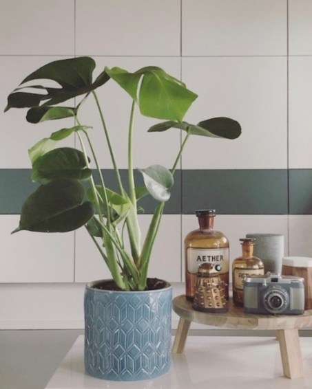 Monstera Deliciosa - Urban Jungle - house on fernlane
