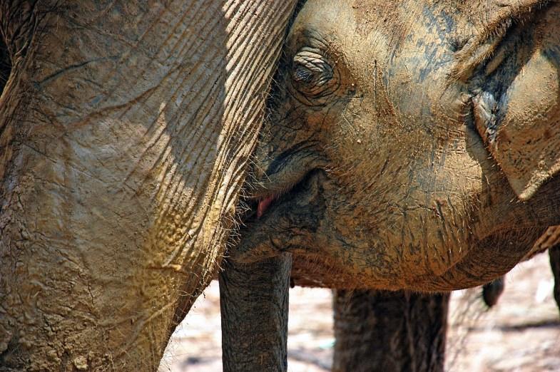 Elefantenbaby trinkt Milch
