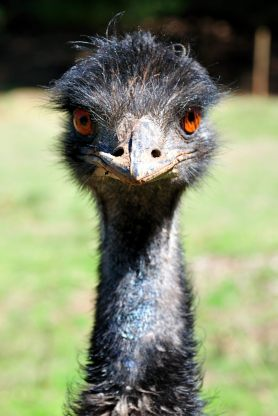 Emu in Tasmanien.