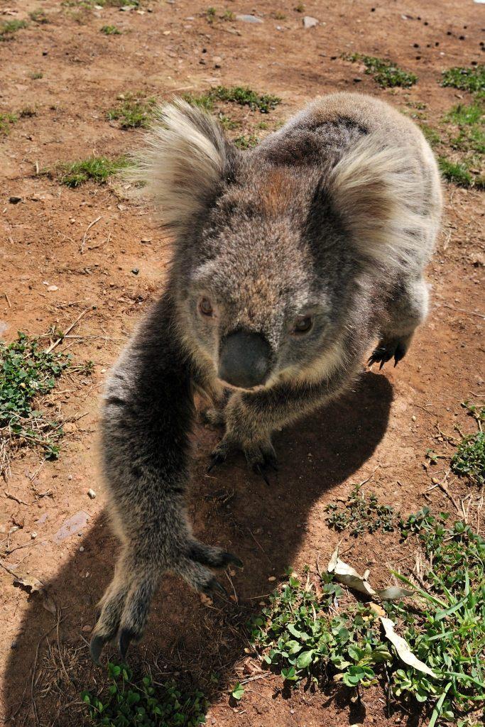 Koala Bär in Tasmanien.