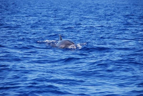 03_Delfin-Madeira-Atlantik