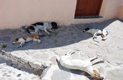 Hunde Siesta Fira Santorin Greece Griechenland Dogs
