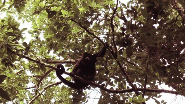 Biosphärenreservat Calakmul Mexiko Maya Hochburg Urwald Affe