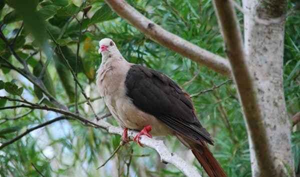 24_Pink-Pigeon-Rosa-Taube-Mauritius