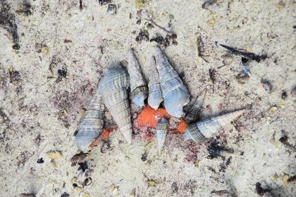 15_Schnecken-im-Naturschutzgebiet-Marine-National-Park-Curieuse-Seychellen