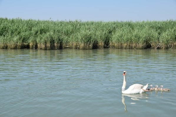 04_Schwan-Schwanfamilie-Naturreservat-Lagune-von-Marano-Lignano Sabbiadoro-Fluss-Stella-Italien