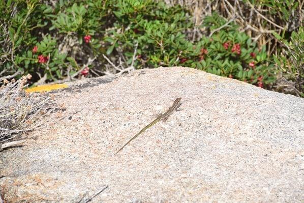 La Maddalena Sardinien Gecko Felsen Natur Italien Mittelmeer