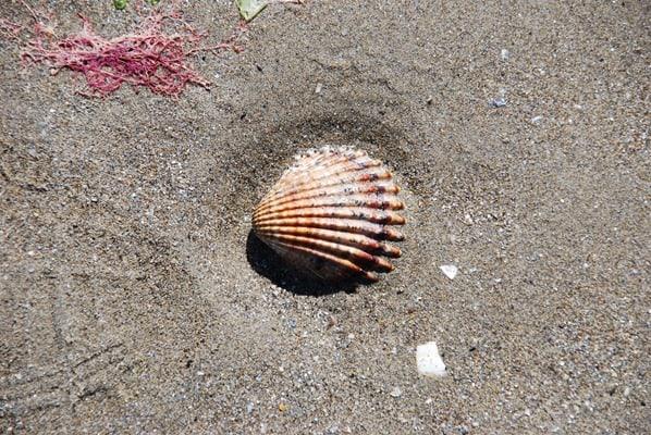 Muschel-am-Strand