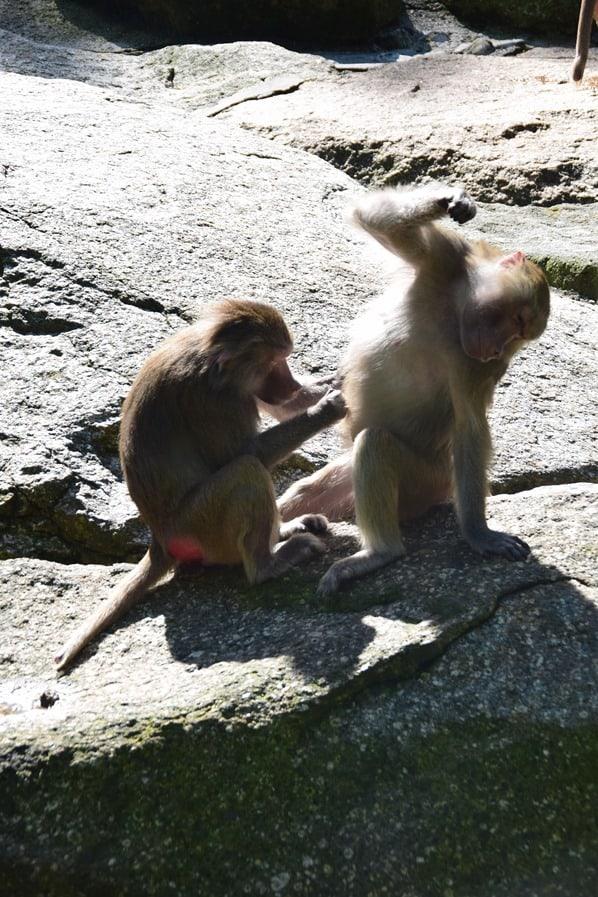 Mantelpavian Fotosafari Tierpark Hellabrunn Zoo Muenchen