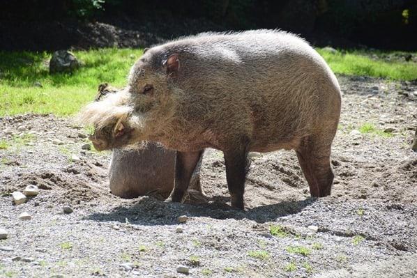 Bartschwein Fotosafari Tierpark Hellabrunn Zoo Muenchen