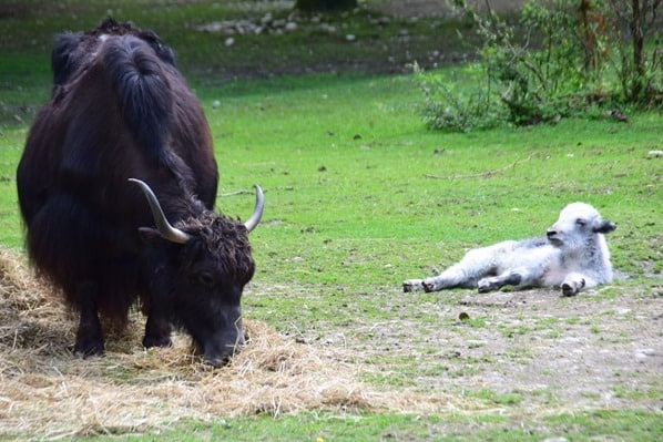 Bison Kalb Fotosafari Tierpark Hellabrunn Zoo Muenchen