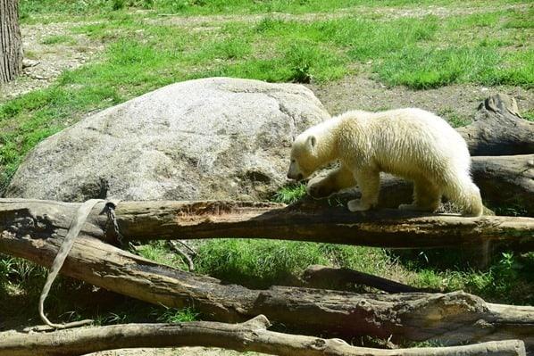 Eisbaeren Baby Quintana klettert Fotosafari Tierpark Hellabrunn Zoo Muenchen