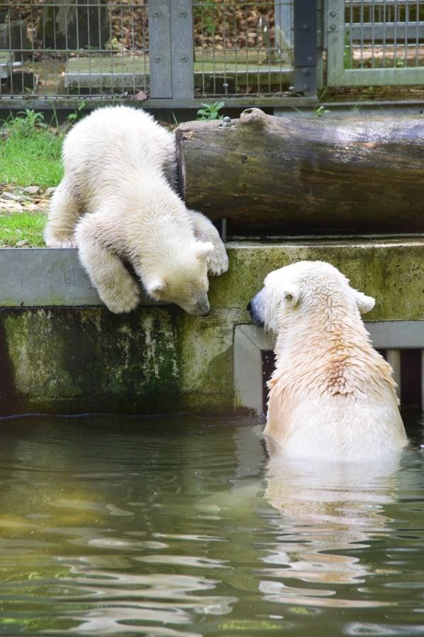 Eisbaeren Baby Quintana mit Mama Fotosafari Tierpark Hellabrunn Zoo Muenchen