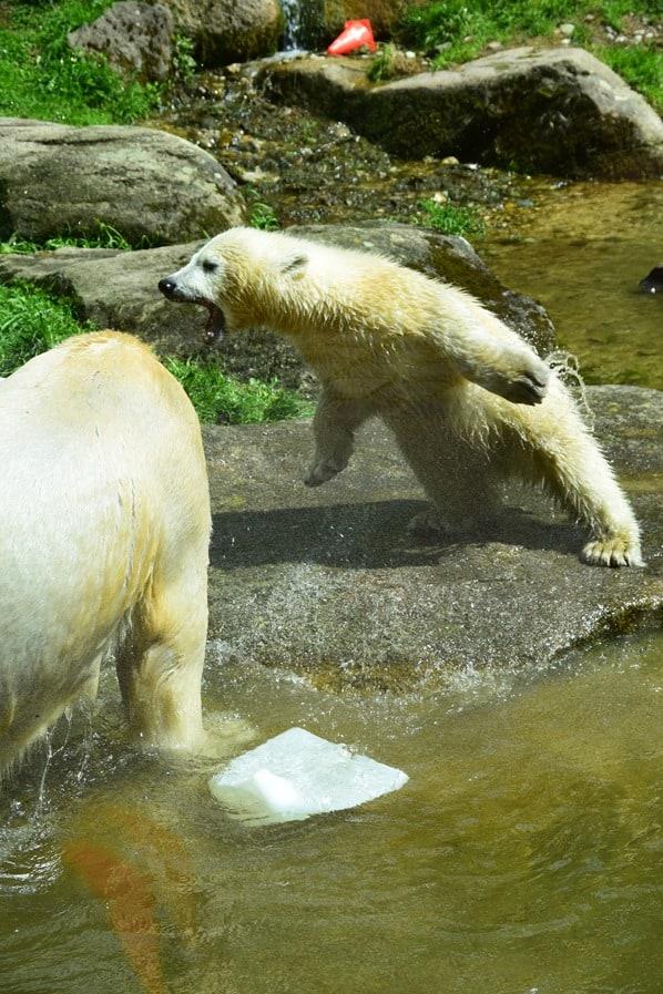 Eisbaeren Baby Quintana fliegt Fotosafari Tierpark Hellabrunn Zoo Muenchen