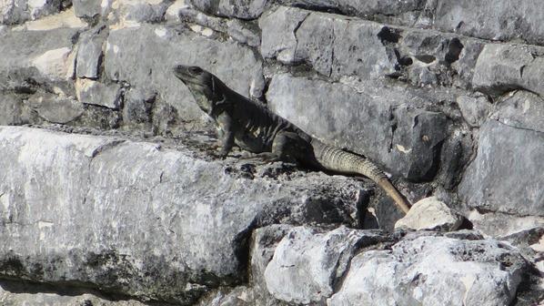 Tulum Mexiko Maya Tempel Karibik Leguan Steinmauer Yucatan
