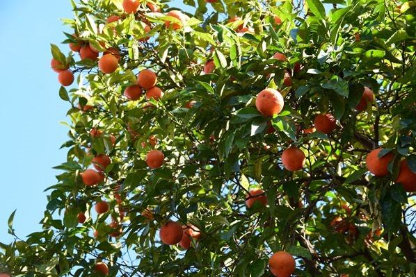 22_Orangenbaum-Palatin-Citytrip-Rom-Italien